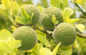 Aceite esencial de petit grain, hojas y fruto