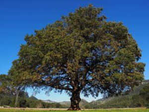 Aceite esencial de alcanfor, árbol de Alcanfor