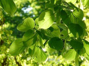 Aceite esencial de lima, hojas de lima