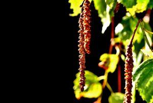 Árbol de abedul, hojas y semilla