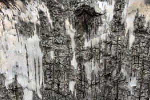 Corteza de árbol de abedul, extracto de aceite esencial de abedul