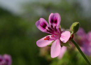 Aceite esencial de geranio, flor
