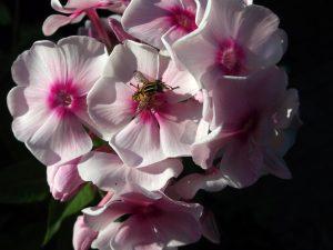 Aceite esencial de valeriana, Flor púrpura con blanco