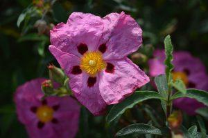 Flor del aceite esencial de rosa mosqueta